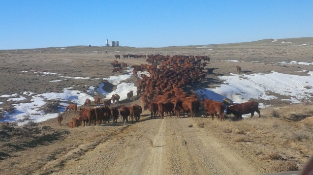 Moving to new pasture